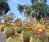 picture of xeriscape  - green cactus and palms garden in Fuerteventura Island - JPG