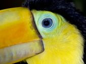 male juvenile keel billed toucan