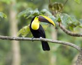 pic of mandible  - beautiful costa rican chestnut mandibled toucan sitting on tree branch