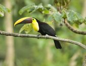 beautiful costa rican chestnut mandibled toucan
