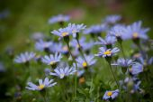 foto of feverfew  - the daisy in the garden - JPG