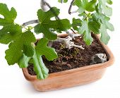 Bonsai Fig Tree