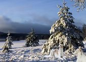 two russian Borzoi hounds relaxing in a snowy winter landscape