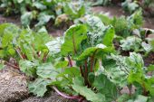Beet Greens From Rural Garden