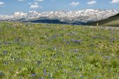 stock photo of beartooth  - View of alpine wildflowers along the Beartooth Highway in Wyoming - JPG