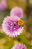 Honey Bee On Pink Flowering Herb