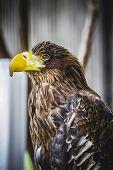 Spanish golden eagle in a medieval fair raptors
