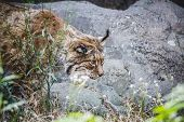 Iberian lynx chasing a bird, hunter