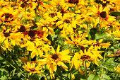 Field of Yellow Echinacea flowers