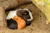 Baby Guinea-pigs With Mother