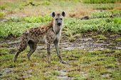pic of hyenas  - Curious Hyena on Liuwa Plains, Zambia, Africa