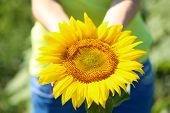 Beautiful sunflower in female hands close-up
