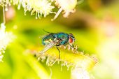 picture of blowfly  - Common green bottle fly  - JPG