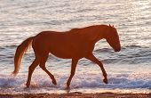 Trotting horse runs along the crest of the waves against the sunset sea
