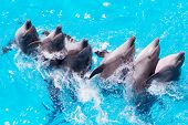 Group Of Dolphins Swimming In The Clear Blue Water Of The Pool Closeup