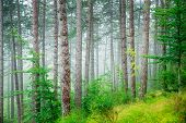 Beautiful pine tree forest, abstract natural background, misty woods in the morning, amazing nature of Italy