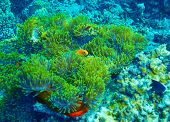 Coral reef underwater background, clown fish swimming near colorful corals, abstract natural backgro