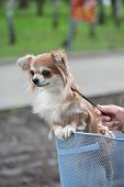 bicycle walking with dog chihuahua puppy