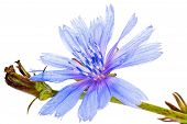 picture of chicory  - Flowering plant chicory is isolated on a white background - JPG