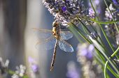 An Insect on a Lavender stem