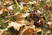 Chestnut fruits and leafs layed on green grass