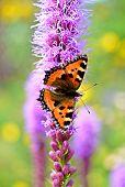 small tortoiseshell butterfly sitting on a purple flower