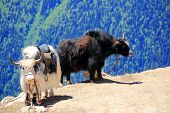Two Shaggy Yaks In Caucasus Mountains