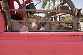 image of slaughter  - Pink truck filled with pigs headed to the slaughter house - JPG