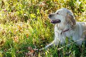 Cute golden retriever lying in the grass