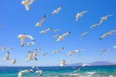 Swarm Of Flying Sea Gulls
