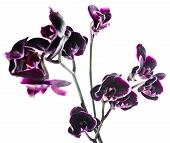 Blooming Branch Beautiful Dark Cherry With White Rim Orchid, Phalaenopsis Is Isolated On White Backg
