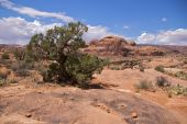 Weathered tree, Corona Arch Trail