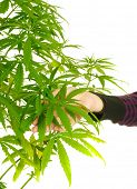 Woman's hand holding the leaves of a cannabis plant