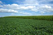 foto of soybeans  - Soybeans rank second - JPG