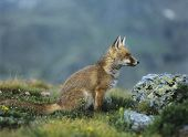 Fox Sitting by Rock