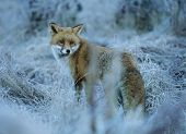 Fox Standing on Frost-covered Grass
