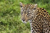Close-up of leopard (Panthera pardus) looking at camera