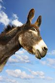 Closeup of a donkey against sky and clouds