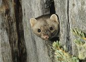 Weasel Peeking from Tree Knot