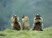 pic of marmot  - Three Marmots - JPG
