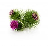 Thistle Flowers Isolated On The White Background