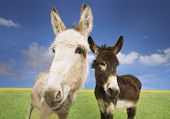 Portrait of white and brown donkeys in the field against sky