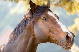 foto of big horse  - close up of an purebred racing horse - JPG