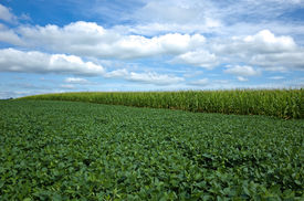 image of soybeans  - Soybeans rank second - JPG