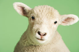 picture of baby sheep  - Closeup portrait of a cute lamb against green background - JPG