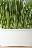 Wheatgrass Background