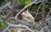 Iguana Hiding In The Branches