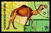 Vintage  Postage Stamp. Animals Burundi,  Camel  Dromadaire.