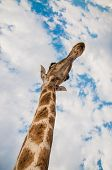 pic of saharan  - Close up photo of the neck and face of a giraffe - JPG