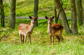 foto of bambi  - Two young female deers in a natural park forest - JPG